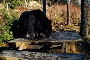 camping picnic table with bear